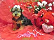 Yorkshire Terrier - Adorable Black/Gold Female - ~ GRACIE ~  Read more