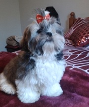 SHIHTZU PURE BRED Female, Micro chipped,  Vaccinated, Wormed.