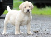 **reduced** Labrador Puppies * 4 Left*